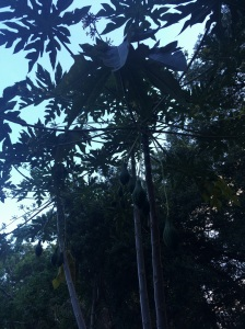 Home 🌴 A papaya tree dad grew from a twig.
